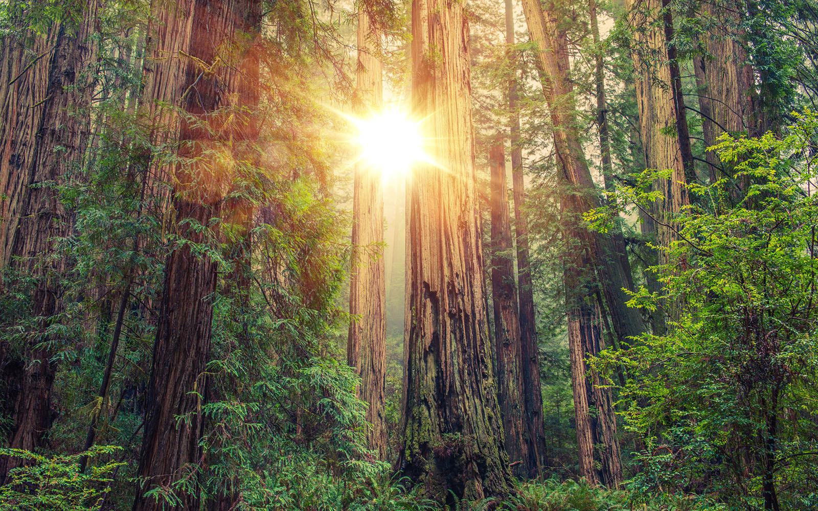 grove of Redwood tress with sun shining through